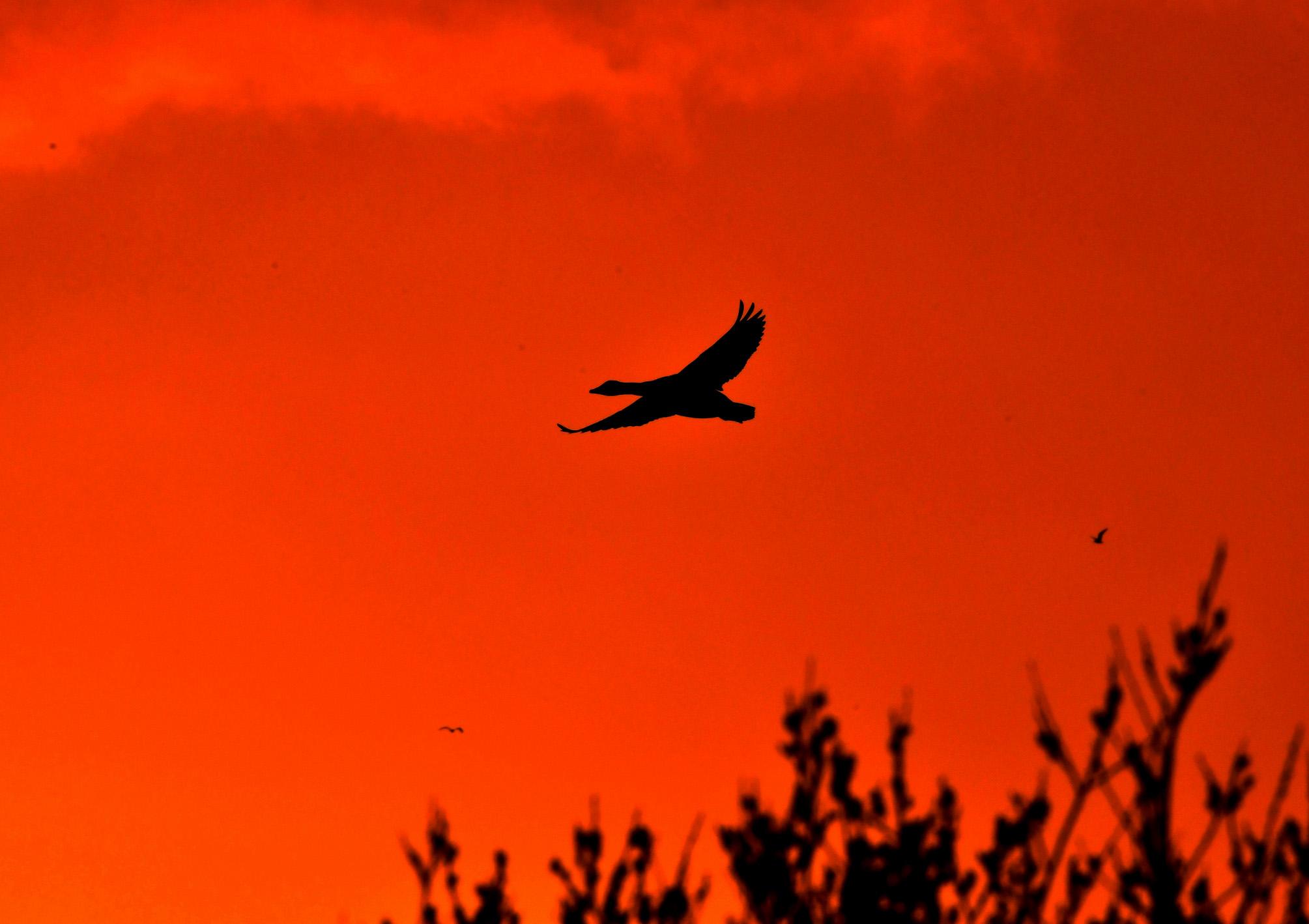 Een gans vliegt over ons heen tijdens het vlammende avondrood – Foto: ©Louis Fraanje