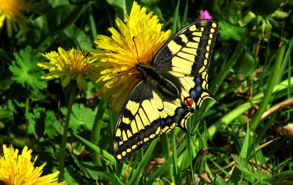 Dat hier zomaar vlak voor ons de mooiste vlinder van Nederland rondvliegt – Foto: ©Fransien Fraanje