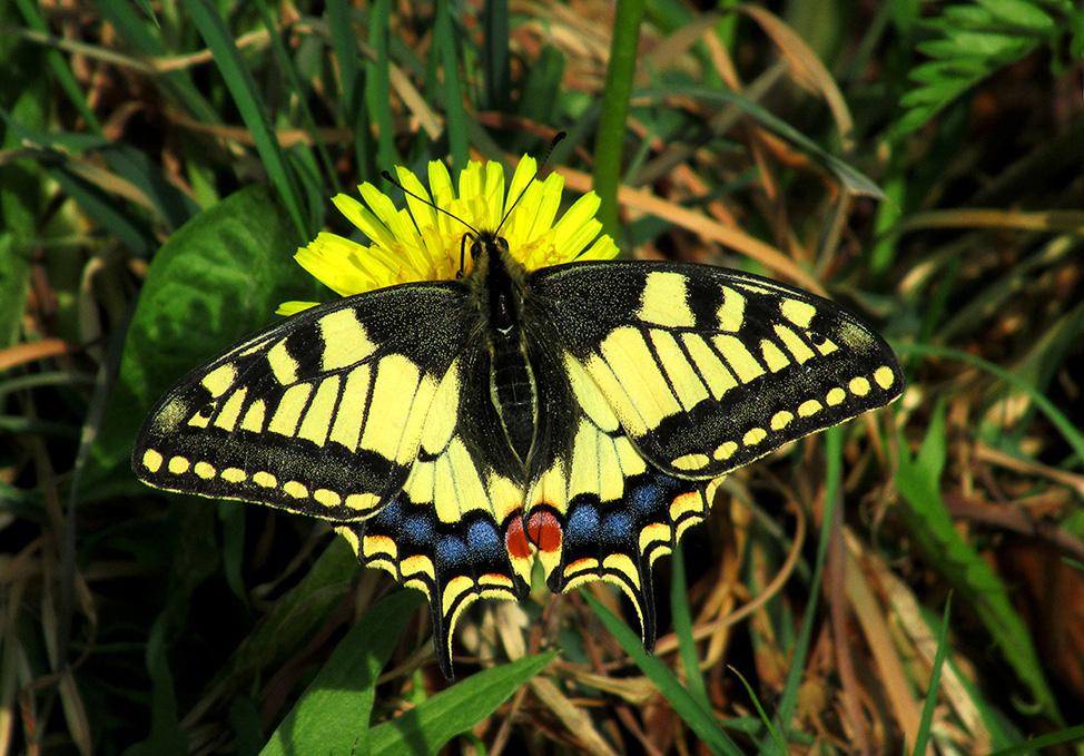 De Koninginnepage is een prachtige en bontgekleurde vlinder met een bijzondere tekening – Foto: ©Fransien Fraanje