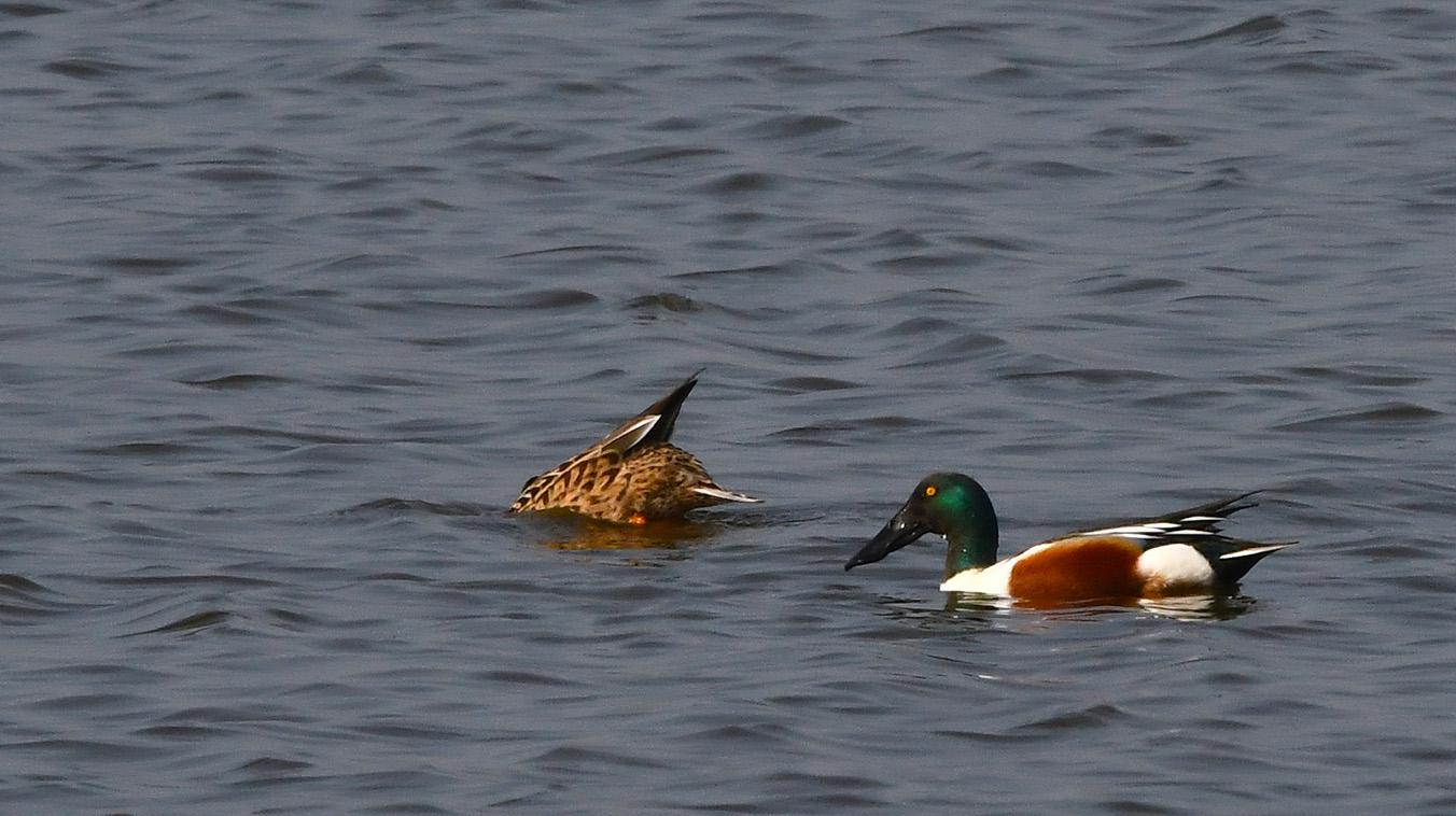 Met zijn zeer brede snavel, filtert de vogel zaden en kleine insecten uit het water – Foto: ©Louis Fraanje