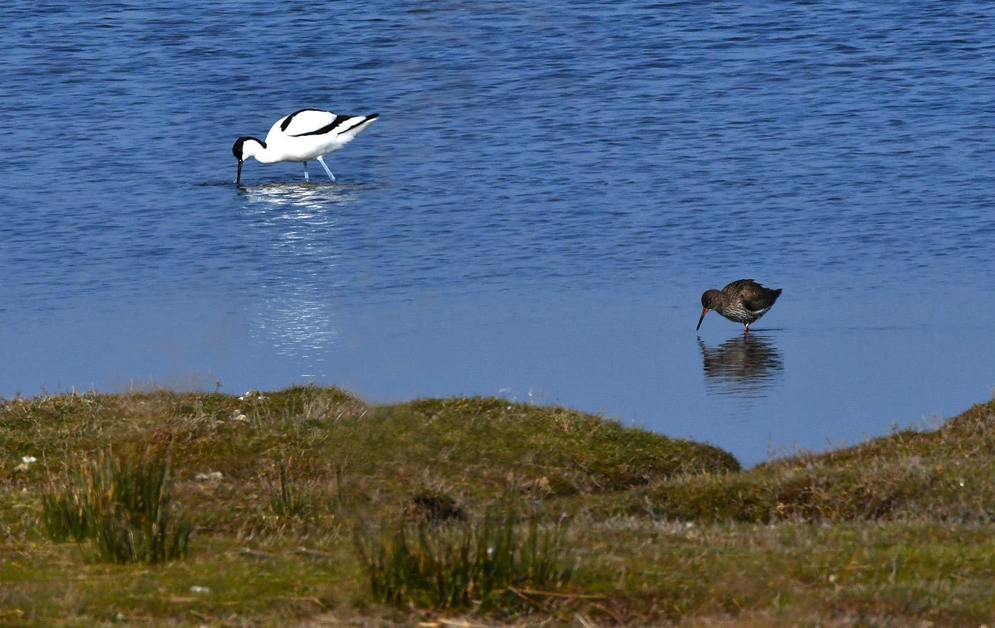 Kluut en tureluur druk aan het voedsel zoeken in het water van De Petten – Foto: ©Louis Fraanje