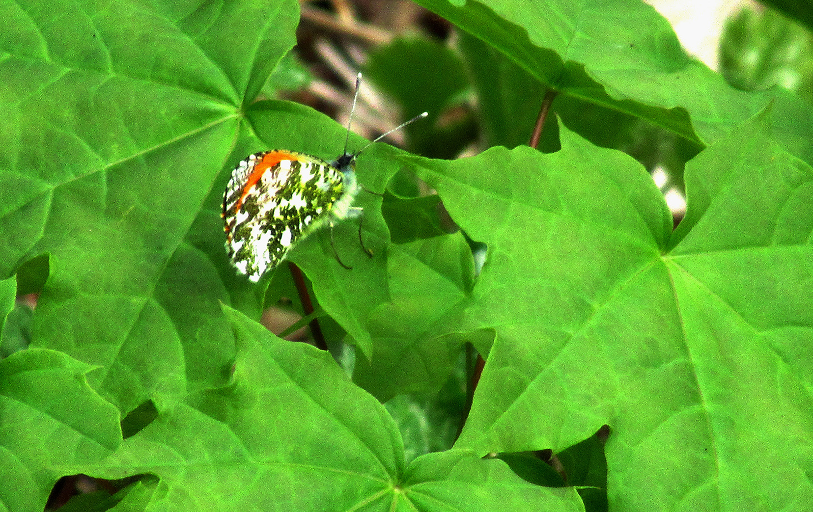 Ook van opzij met ingeklapte vleugels is het een prachtige vlinder – Foto: ©Fransien Fraanje