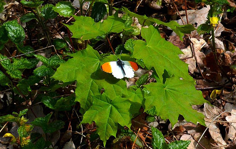 Ineens vloog er een Oranjetipje om ons heen en maakte een landing in het groen – Foto: ©Louis Fraanje