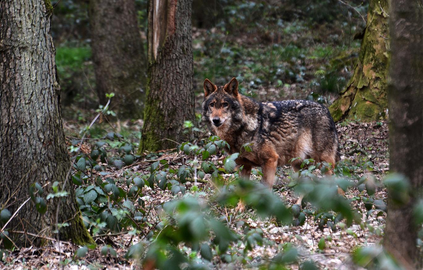 Tegen de wolven zijn moeflons bijna weerloos - Foto: ©Louis Fraanje