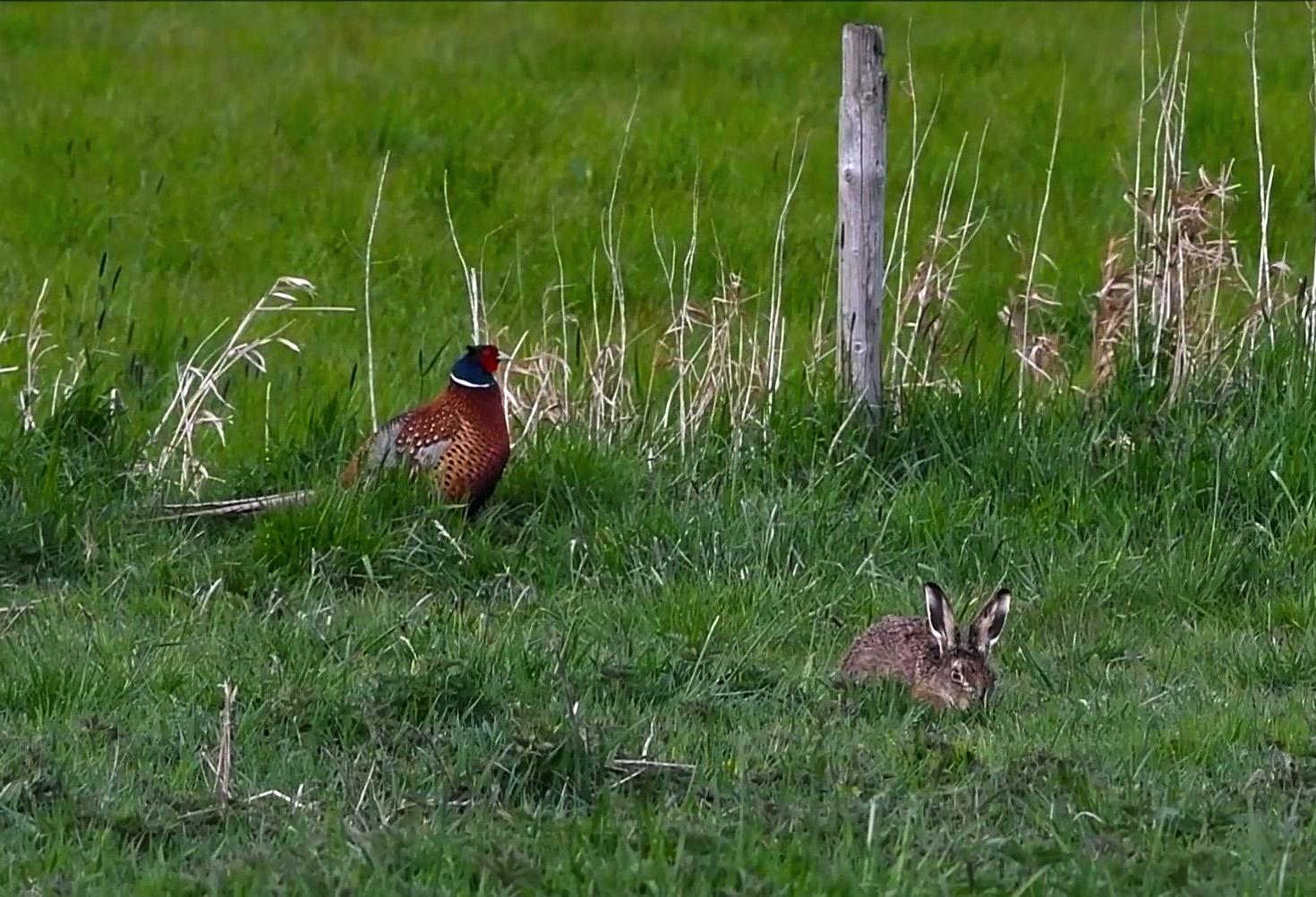 Vanuit het andere weiland komt een fazantenhaan aangelopen - Foto: ©Louis Fraanje