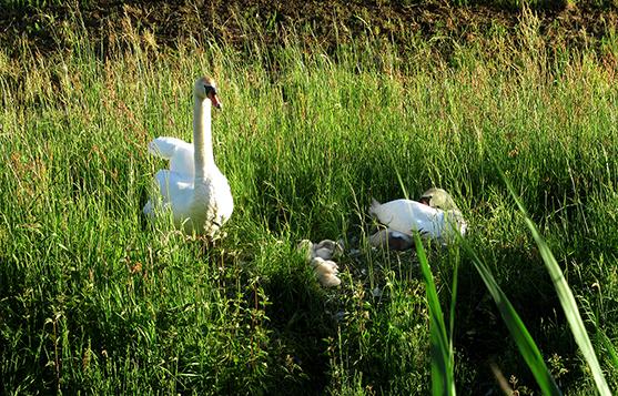 Daar ontdekten we een familie knobbelzwaan in het gras - Foto: ©Fransien Fraanje