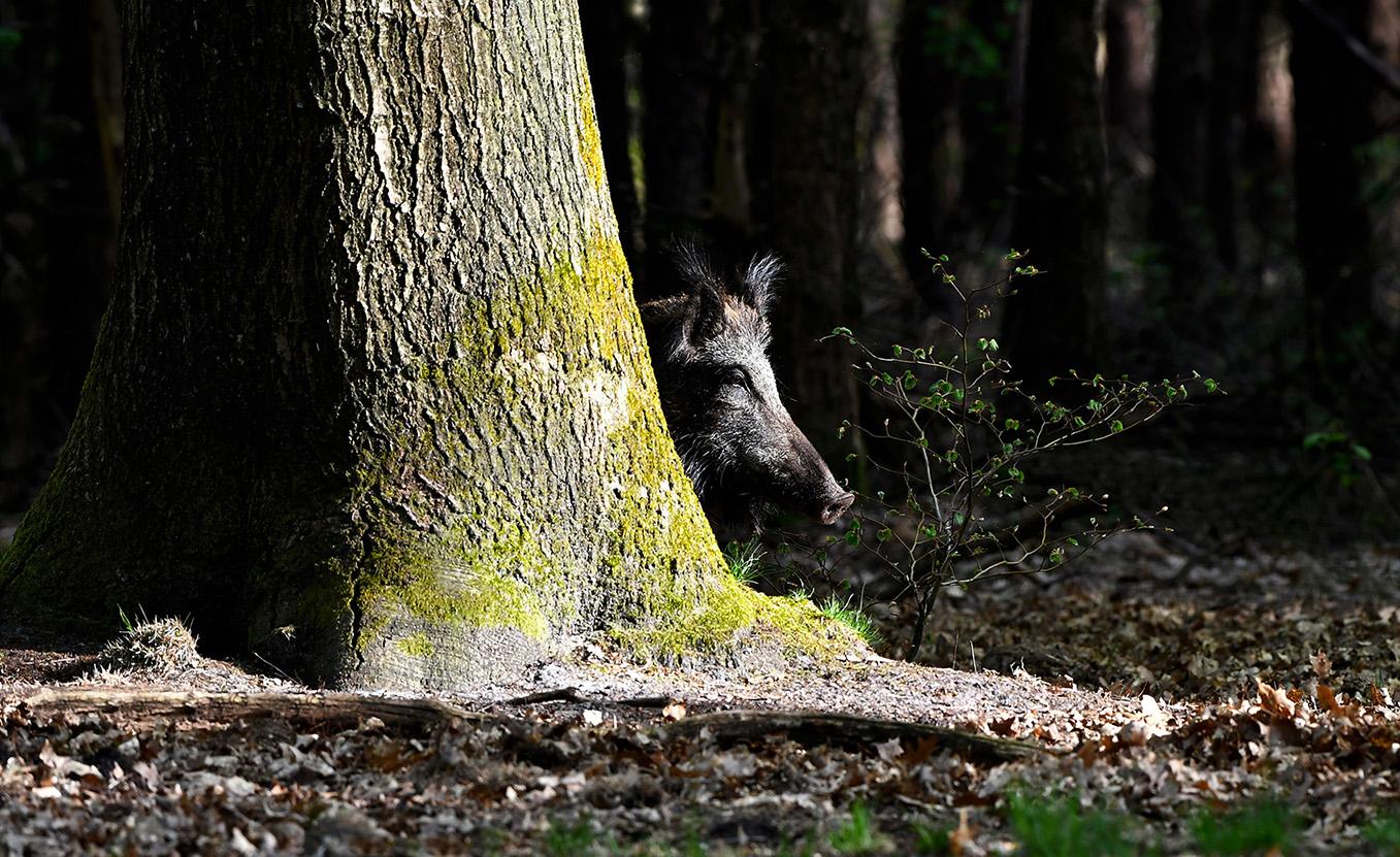 Verscholen achter een boom houden ze ons goed in de gaten - Foto: ©Louis Fraanje