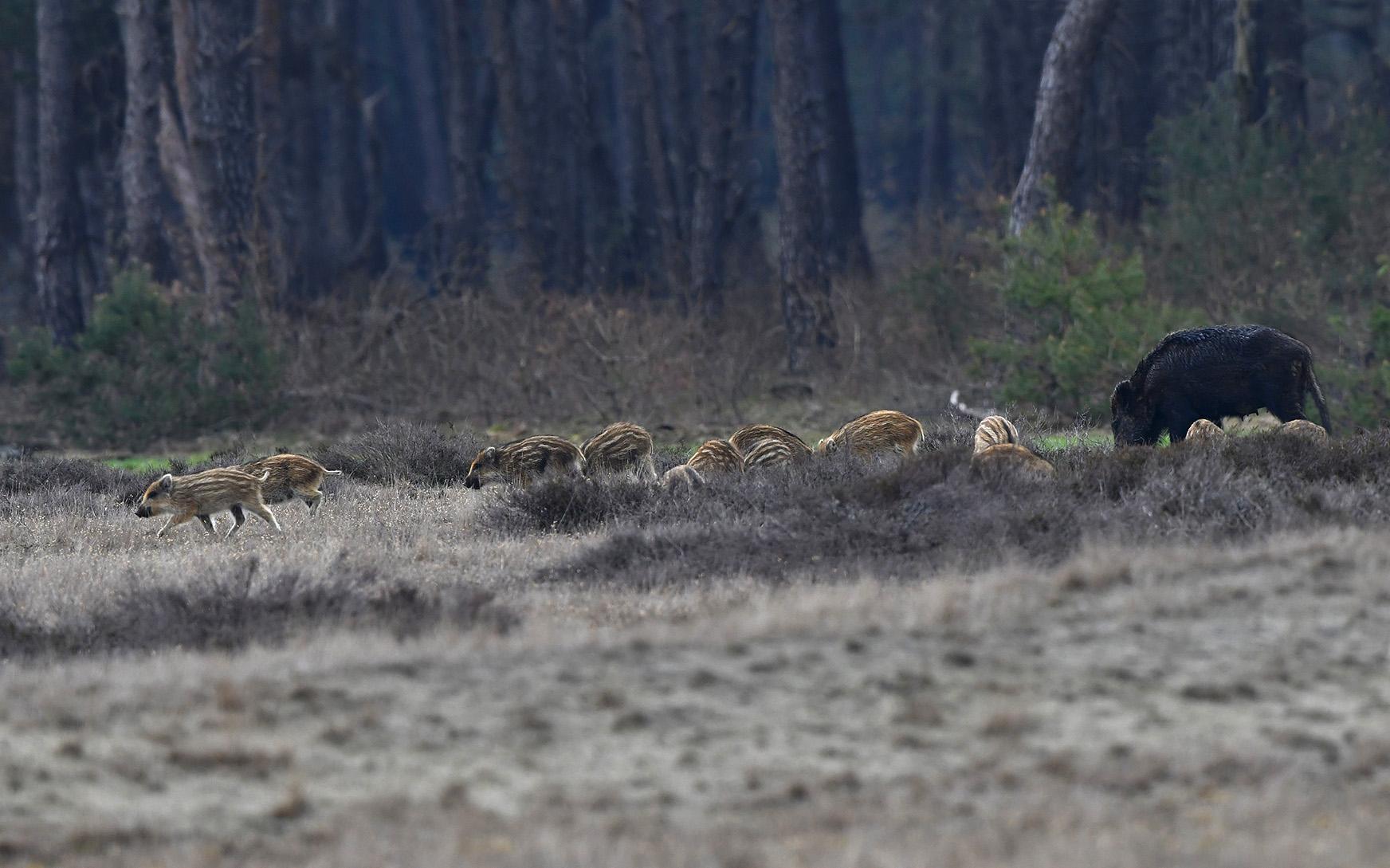 Zeker zo'n twintigtal biggen rennen van hot naar her – Foto: ©Louis Fraanje