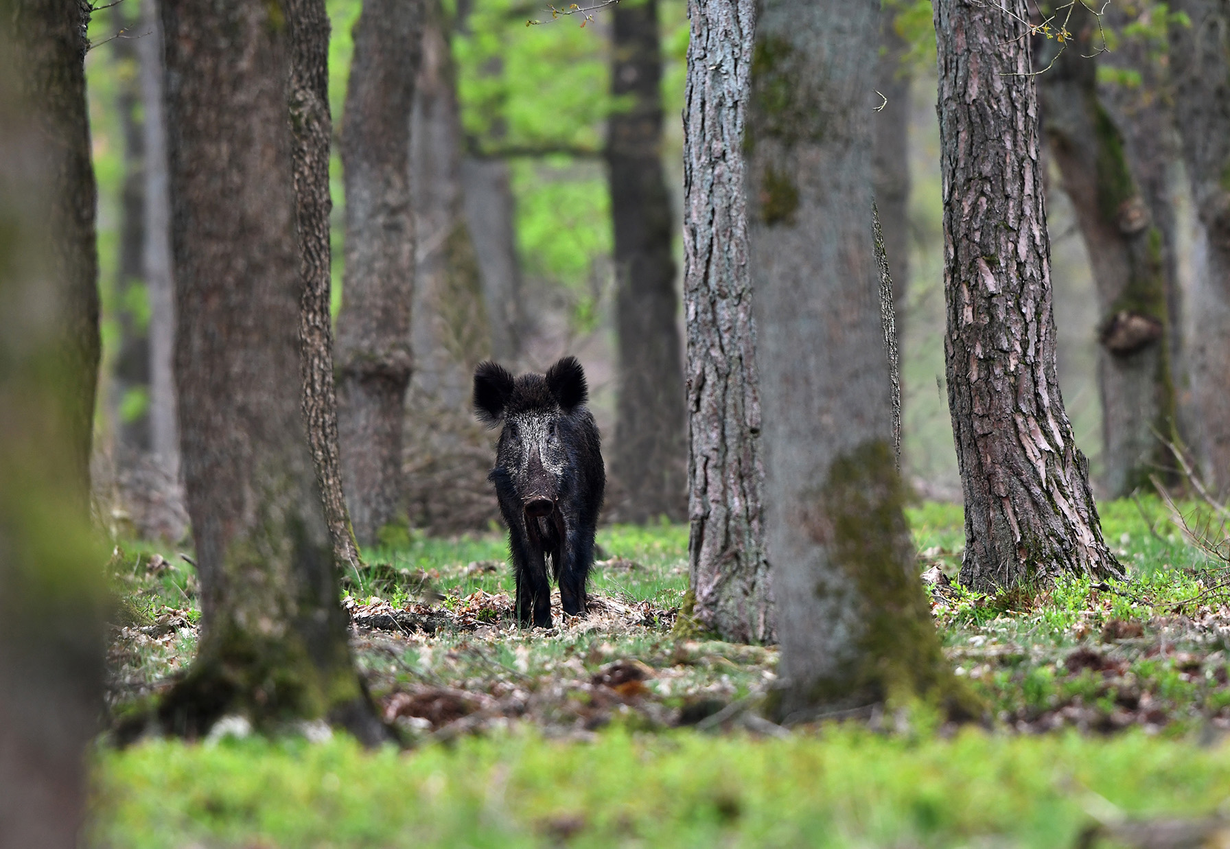 Tussen de bomen verscheen ineens een jonge zeug – Foto: ©Louis Fraanje