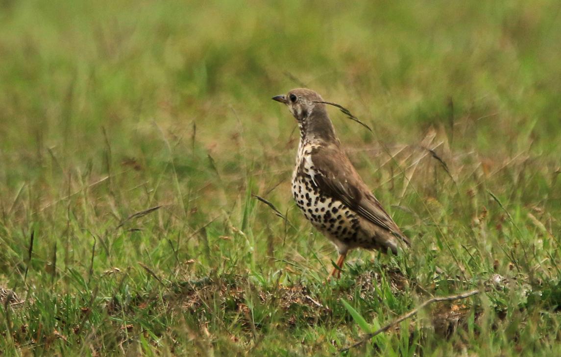 De vogel die Hans gezien had, bleek een Grote Lijster te zijn - Foto: ©Ingrid Pet