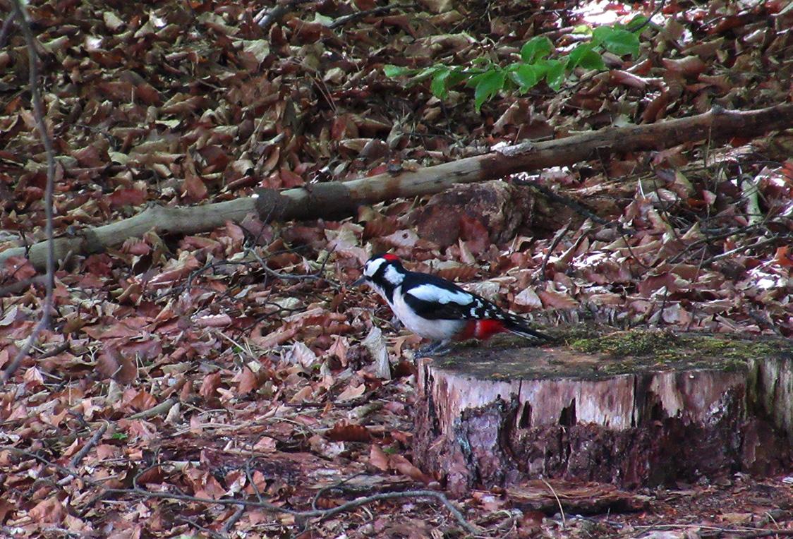 En... laag bij de grond was een Grote Bonte Specht bezig met voedsel zoeken. – Foto: ©Fransien Fraanje