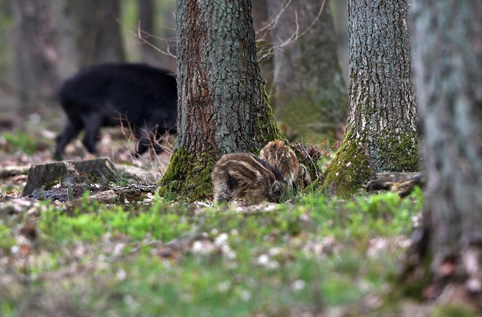 Wroetende biggen in de bosbodem, met op de achtergrond een zeug – Foto: ©Louis Fraanje