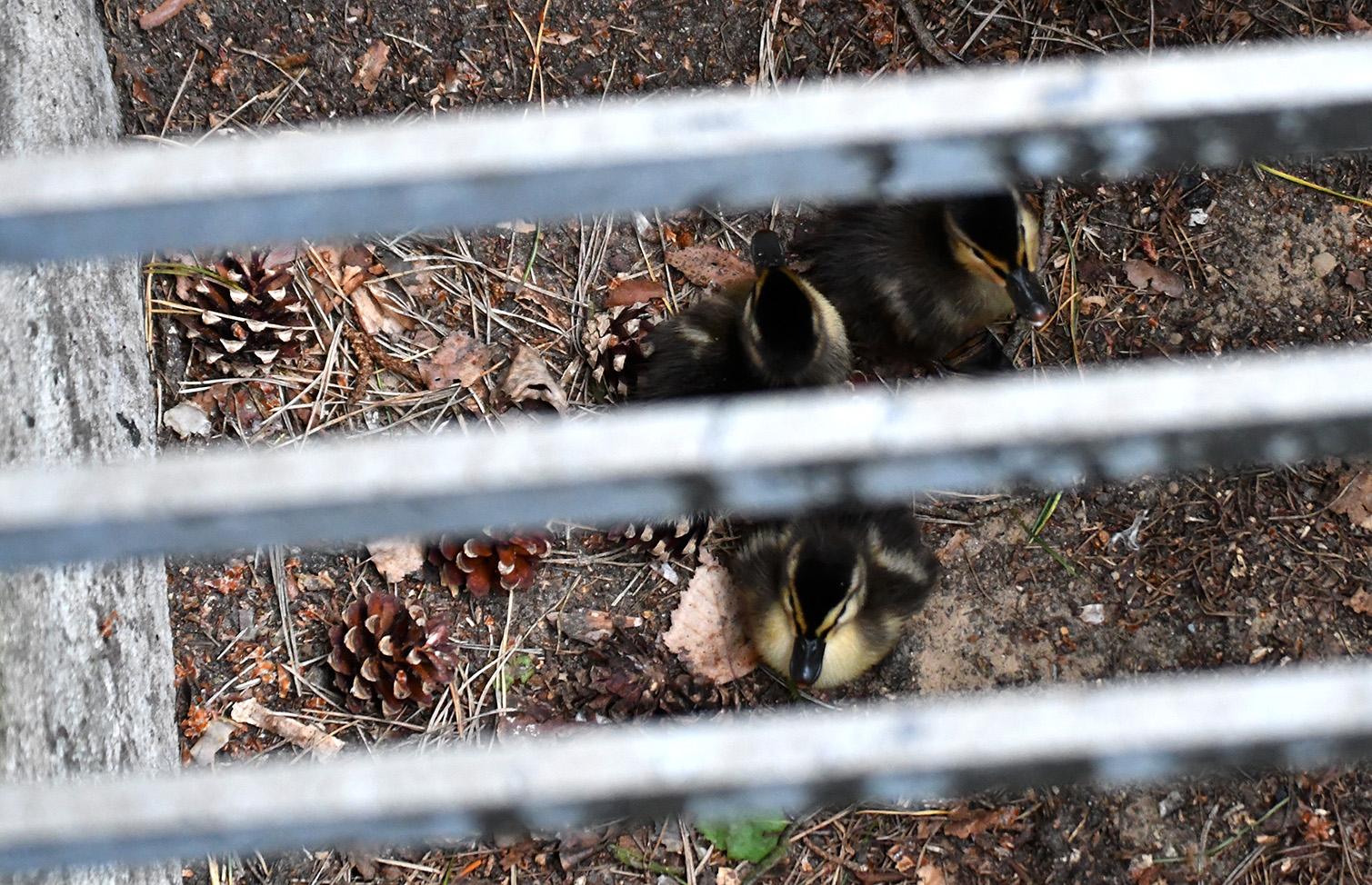 Drie van de zeven kleintjes onder het wildrooster...