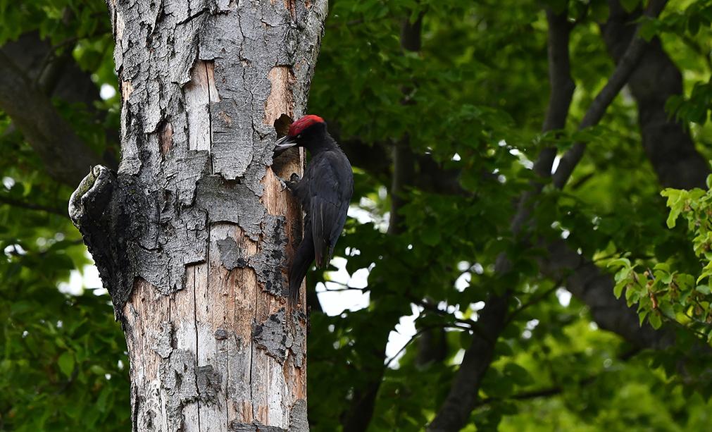 Het mannetje is duidelijk herkenbaar aan zijn grote rode pet – Foto: ©Louis Fraanje
