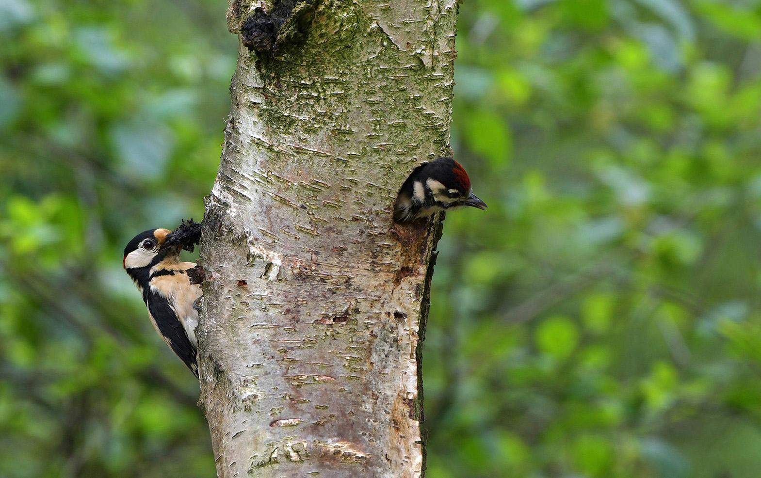 Het lijkt wel 'verstoppertje' spelen als een ouder achter de boom zit – Foto: ©Louis Fraanje