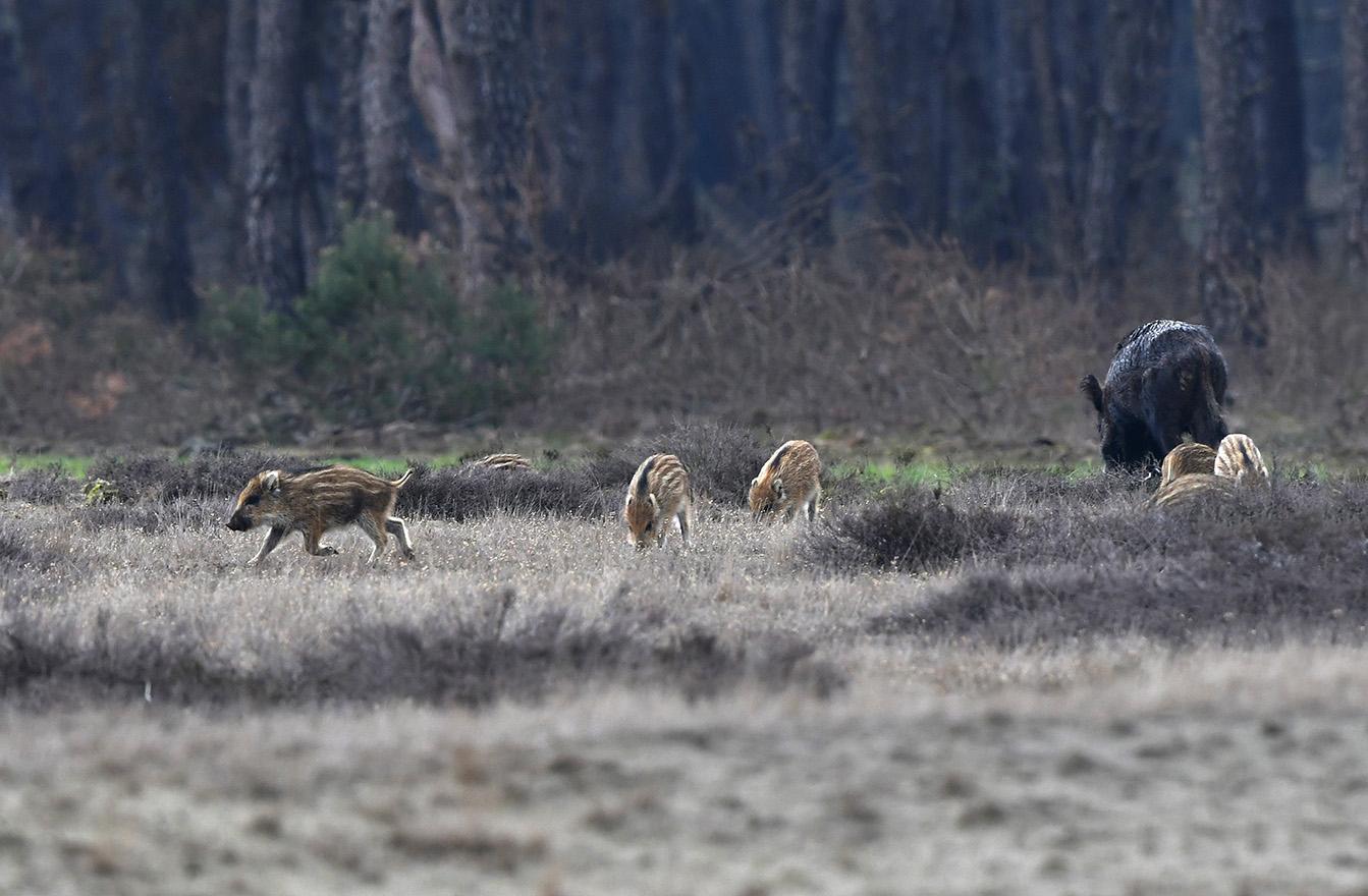Een biggetje maakt zich los van de rest en zoekt zijn heil elders – Foto: ©Louis Fraanje