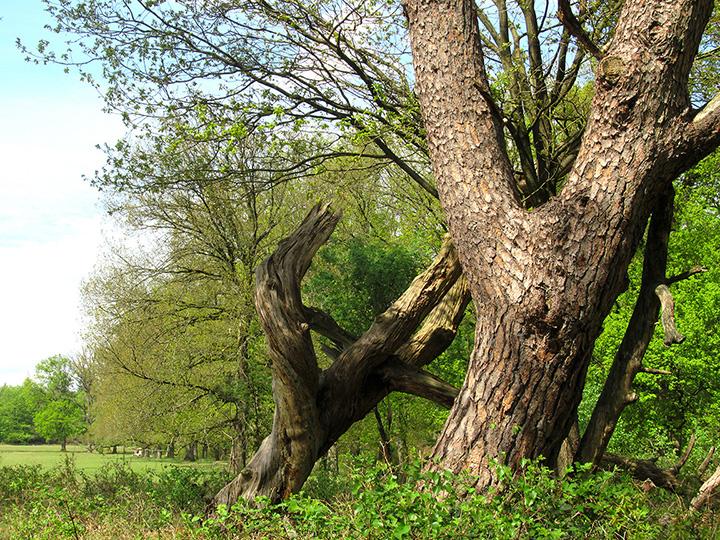 De vergankelijkheid in beeld bij deze oude bomen – Foto: ©Fransien Fraanje