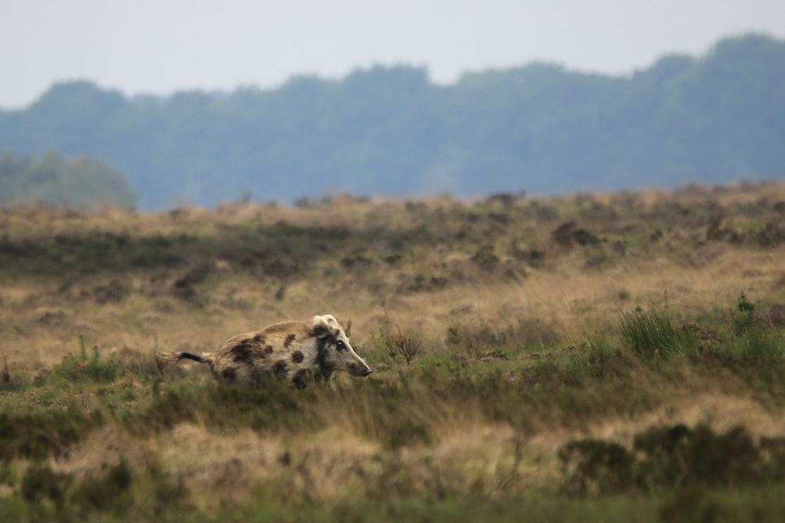 Geen das, maar een bont zwijn liep daar op het Reemsterveld - Foto: ©Ingrid Pet