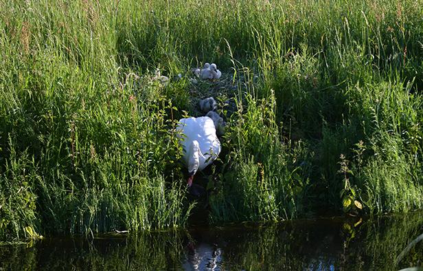 Maar... als er één zwaan over de dam is... volgen er meer – Foto: ©Louis Fraanje