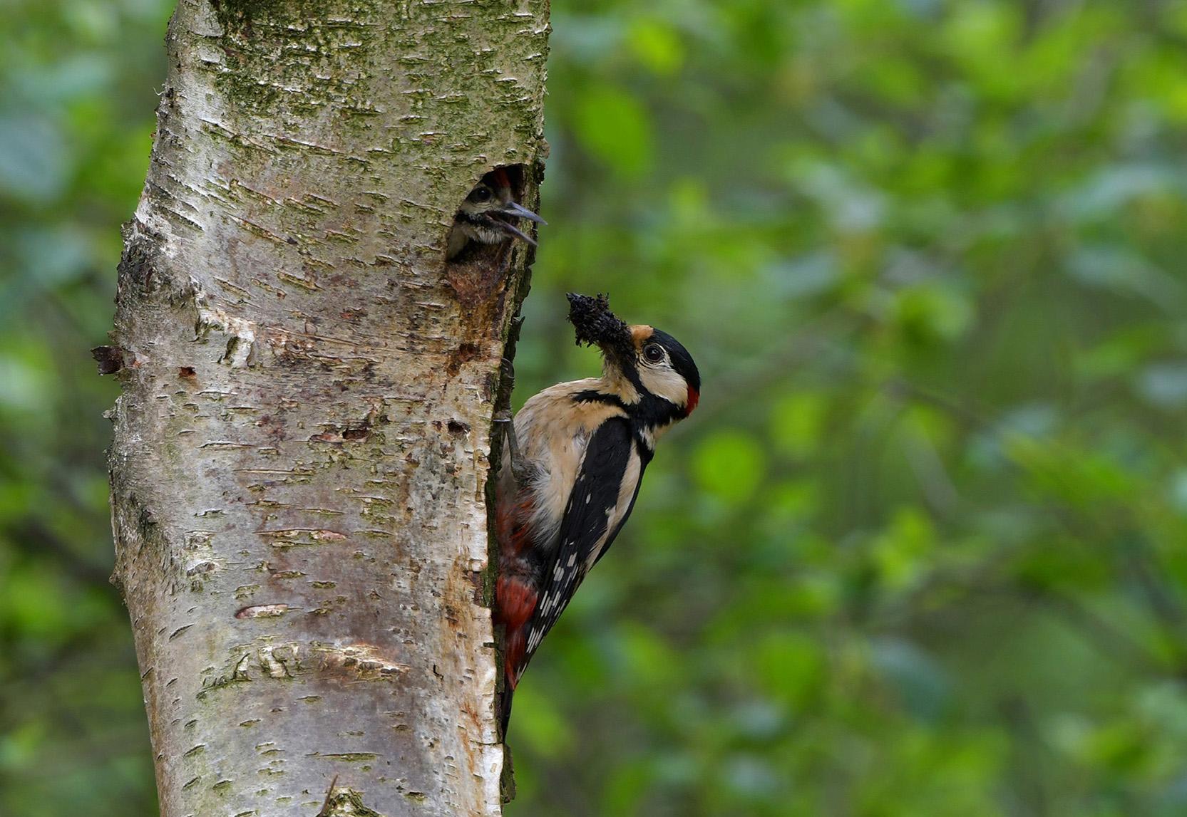 Een oplettende ouder en een hongerige jonge vogel – Foto: ©Louis Fraanje