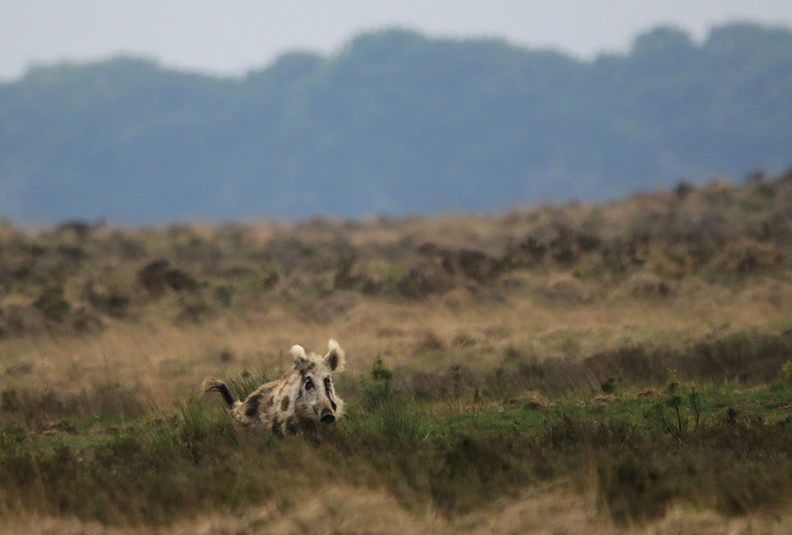 Een heel apart gezicht zo'n bont zwijn op het Reemsterveld - Foto: ©Ingrid Pet