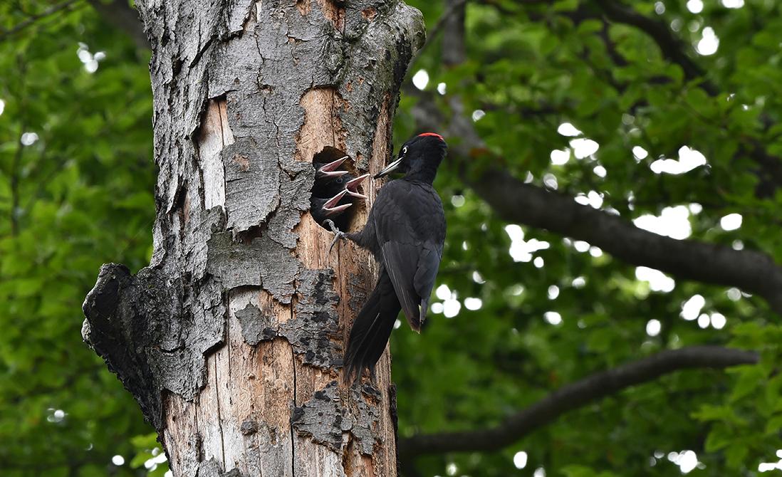Er zitten drie jongen op het nest en die lussen nog wel wat – Foto: ©Louis Fraanje