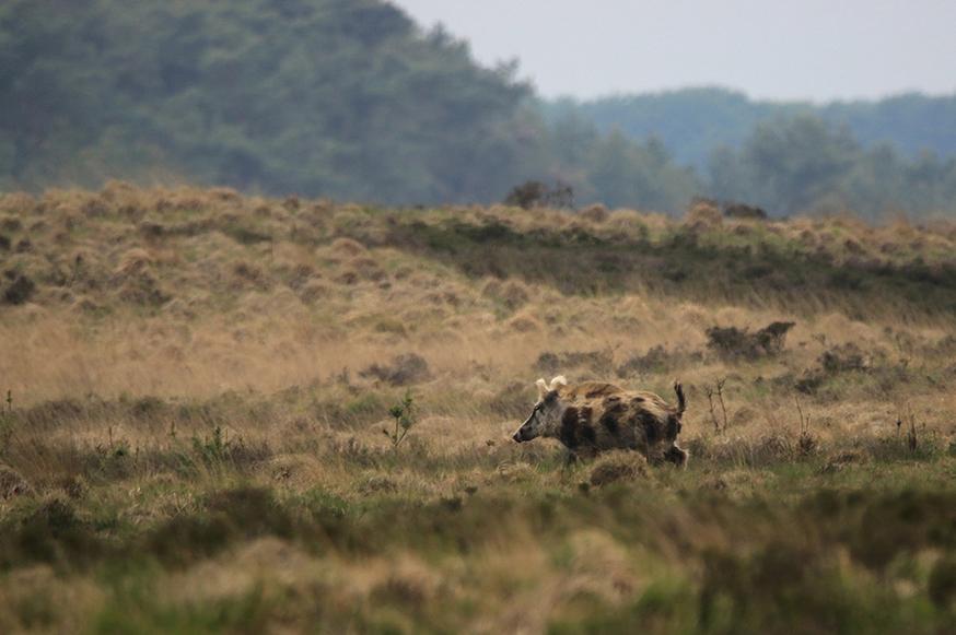 Het bonte zwijn gaat er weer vandoor - Foto: ©Ingrid Pet