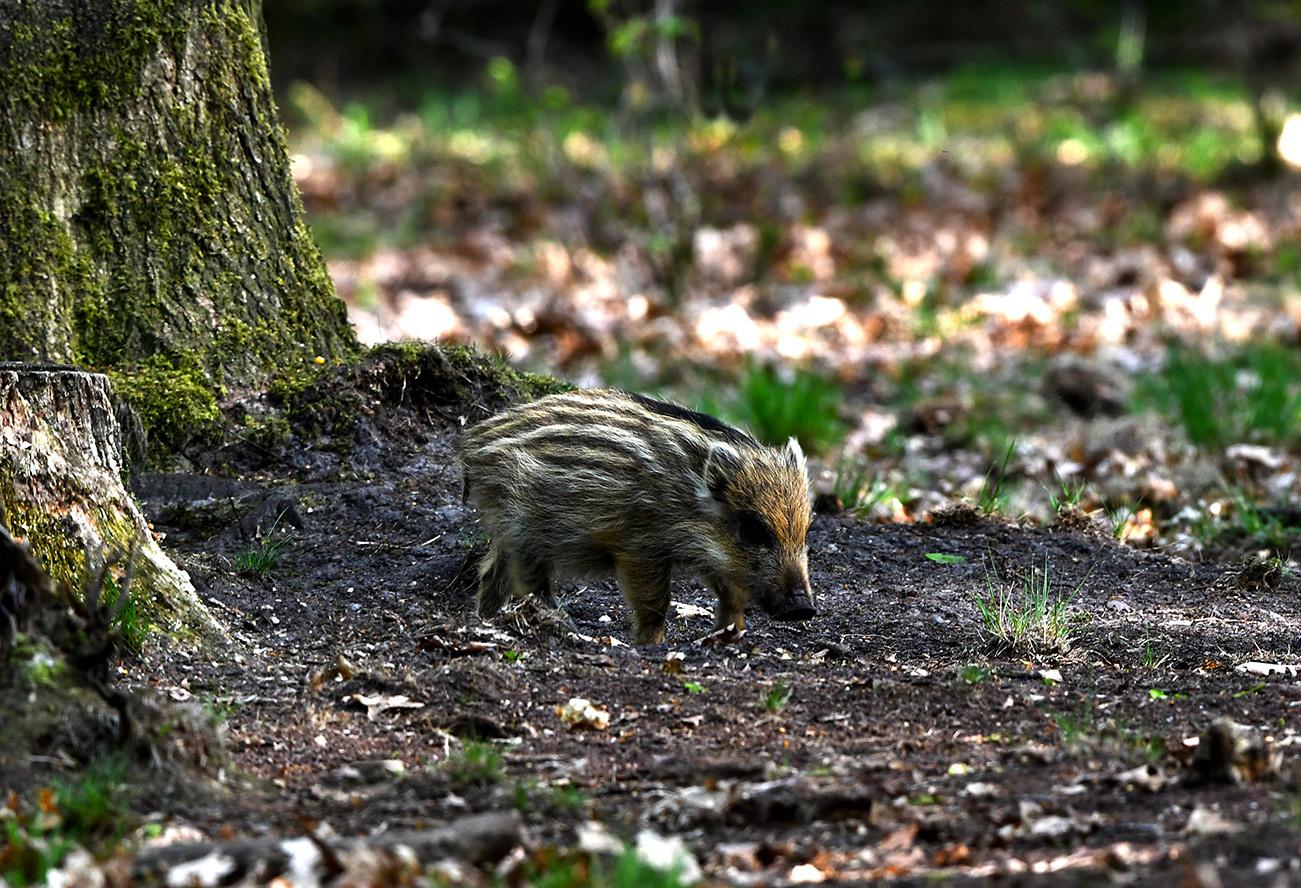 Wat een verschil zo'n biggetje in vergelijking met een volwassen zwijn - Foto: ©Louis Fraanje