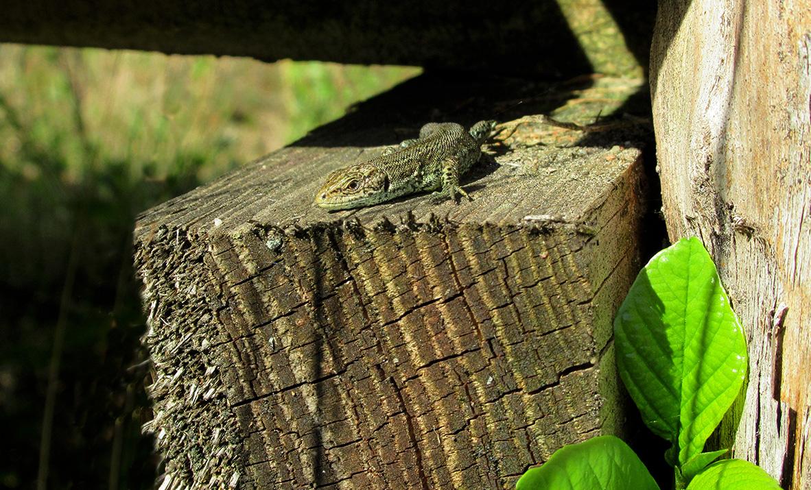 Hoe klein ook, het blijft een prachtig beestje deze Levendbarende hagedis – Foto: ©Fransien Fraanje