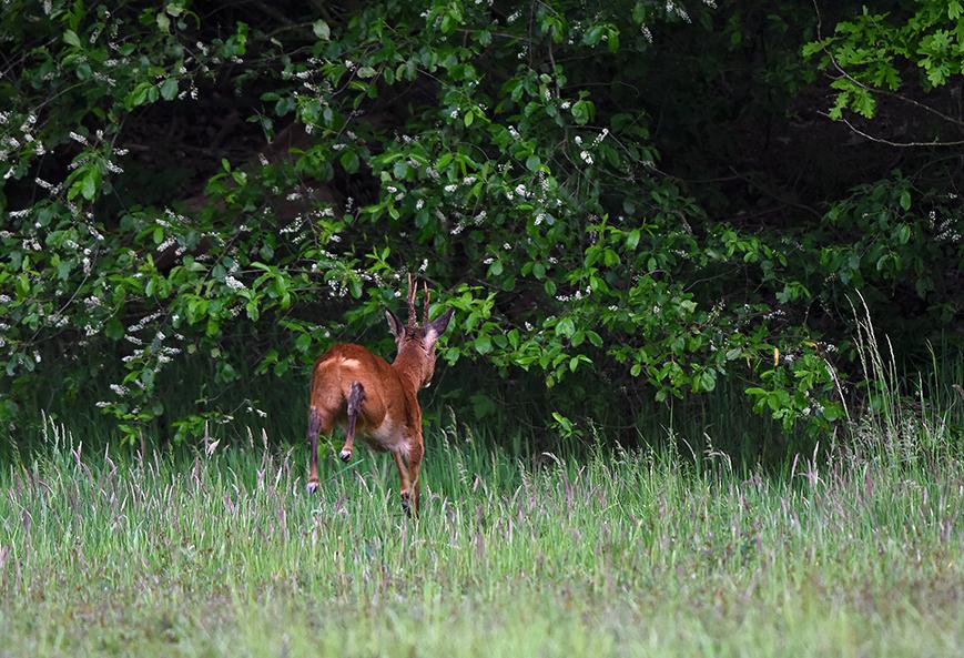 En is hij plotseling verdwenen in de veilige dekking van de bosrand – Foto: ©Louis Fraanje