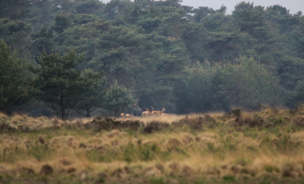 Aan de bosrand stond even later een groepje hindes - Foto: ©Ingrid Pet