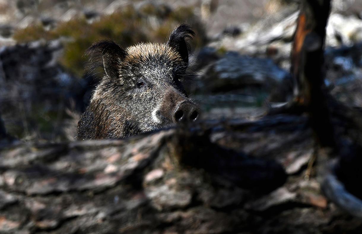 Plotseling kwam er een wild zwijn vanachter een boomstam omhoog – Foto: ©Louis Fraanje