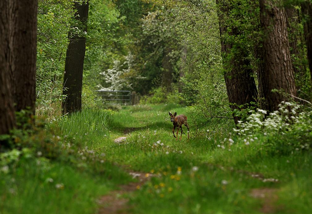 En daar verscheen ineens een reebok op het bospad – Foto: ©Louis Fraanje