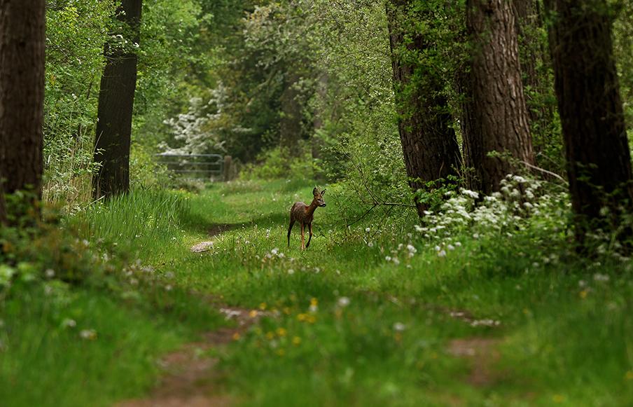 Zich van niets bewust liep hij over het bospad en verdween in de dekking – Foto: ©Louis Fraanje