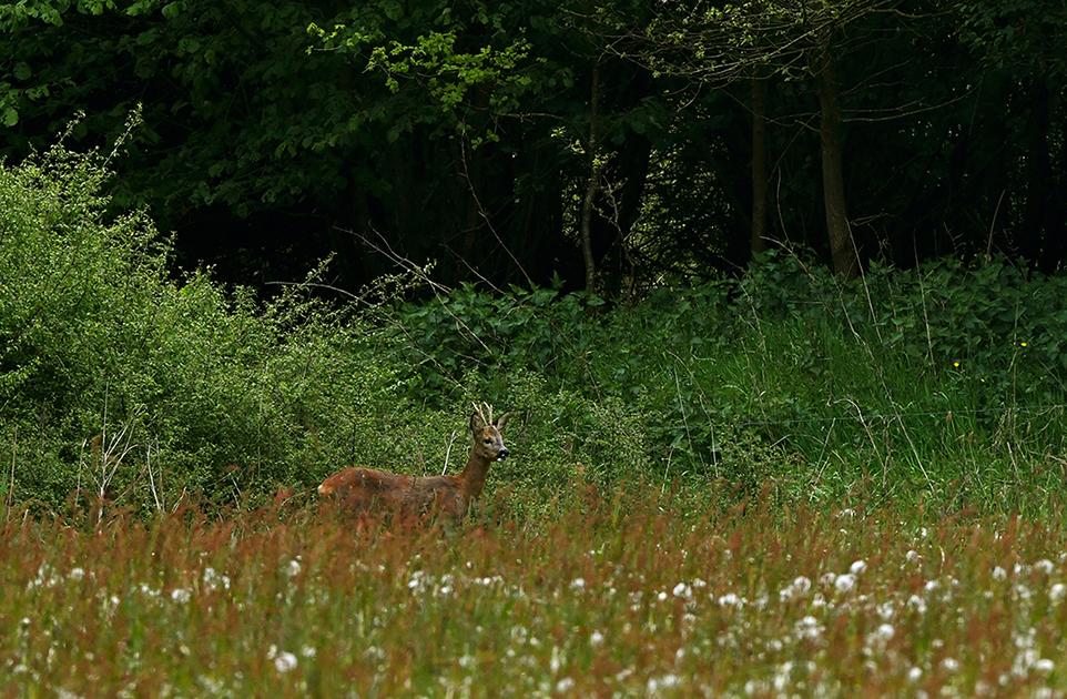 Aan de andere kant kwam hij van tussen het struikgewas weer tevoorschijn – Foto: ©Louis Fraanje