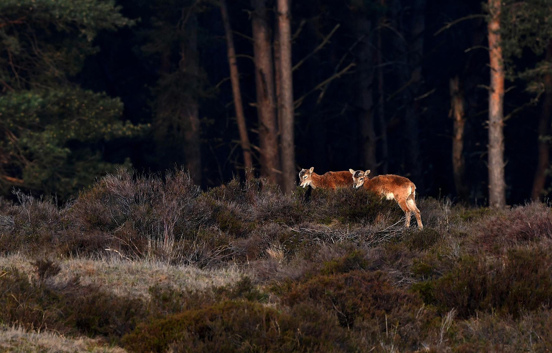 Twee moeflonlammetjes snoepen van de heidestruiken – Foto: ©Louis Fraanje