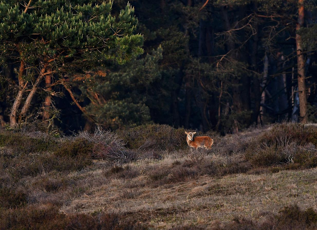 Daar staat een moeflonlammetje heel alleen in de heide – Foto: ©Louis Fraanje