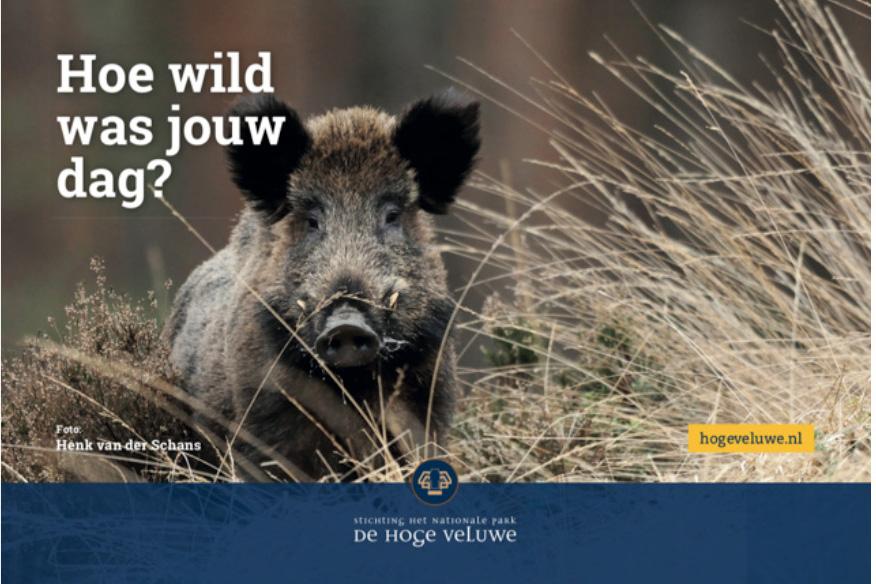 Wild zwijn op de Hoge Veluwe, een stoere keiler - Foto: ©Henk van der Schans