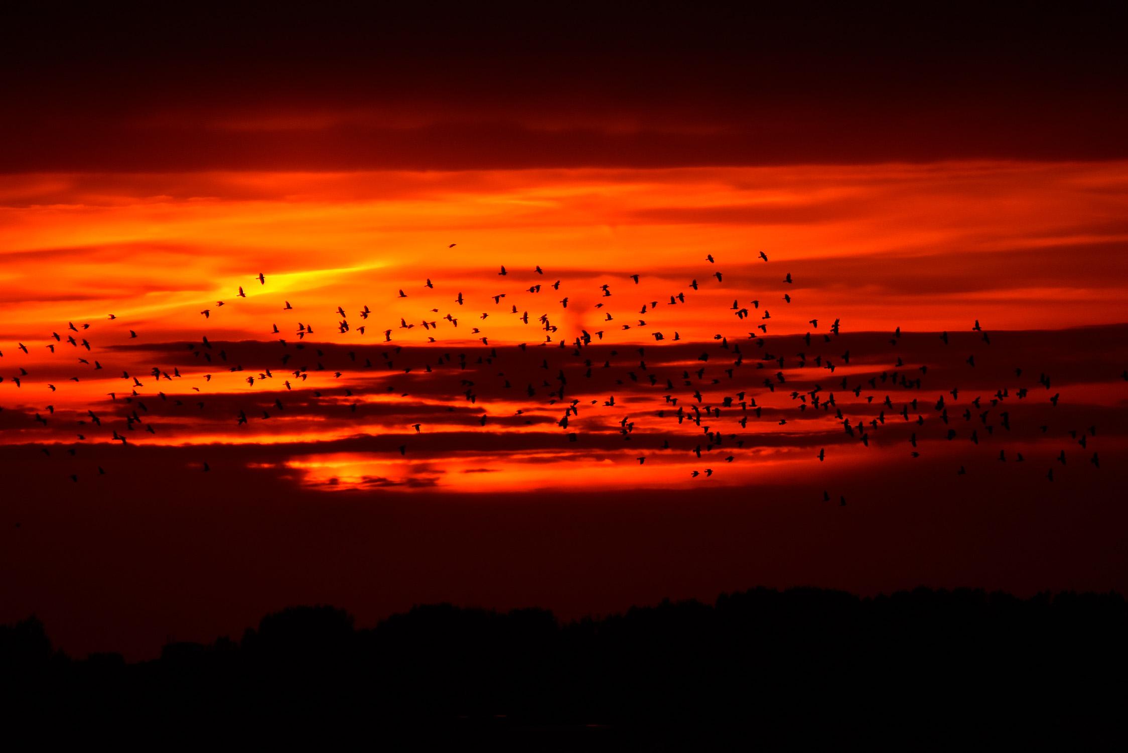 Tijdens het vlammende avondrood komt er een hele zwerm vogels langs - Foto: ©Louis Fraanje