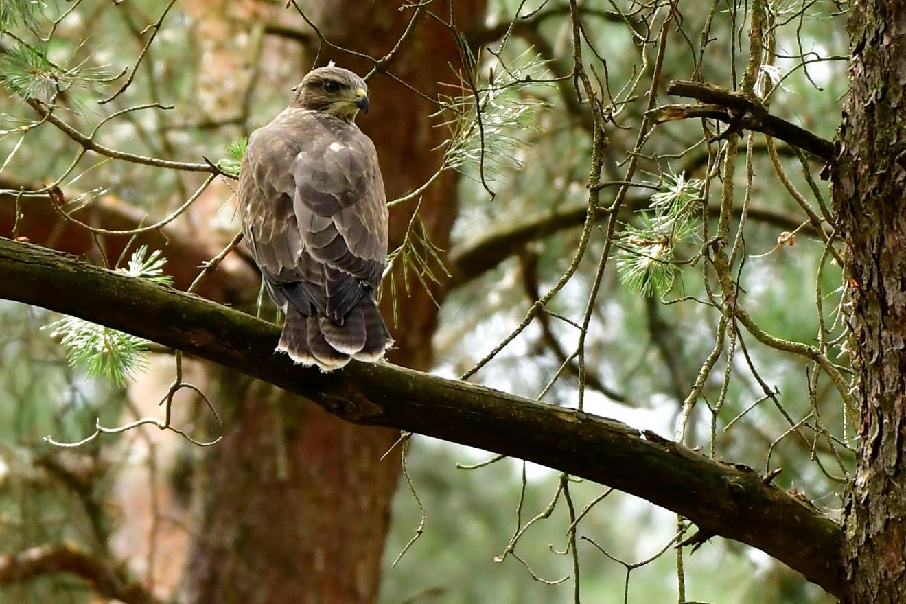 Bruinkleurige Buizerd op tak in oud grove-dennen-bestand - Foto: ©Ton Heekelaar