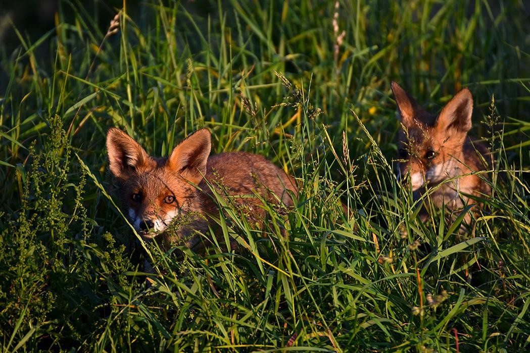 Twee jonge vossen - Foto: ©Louis Fraanje