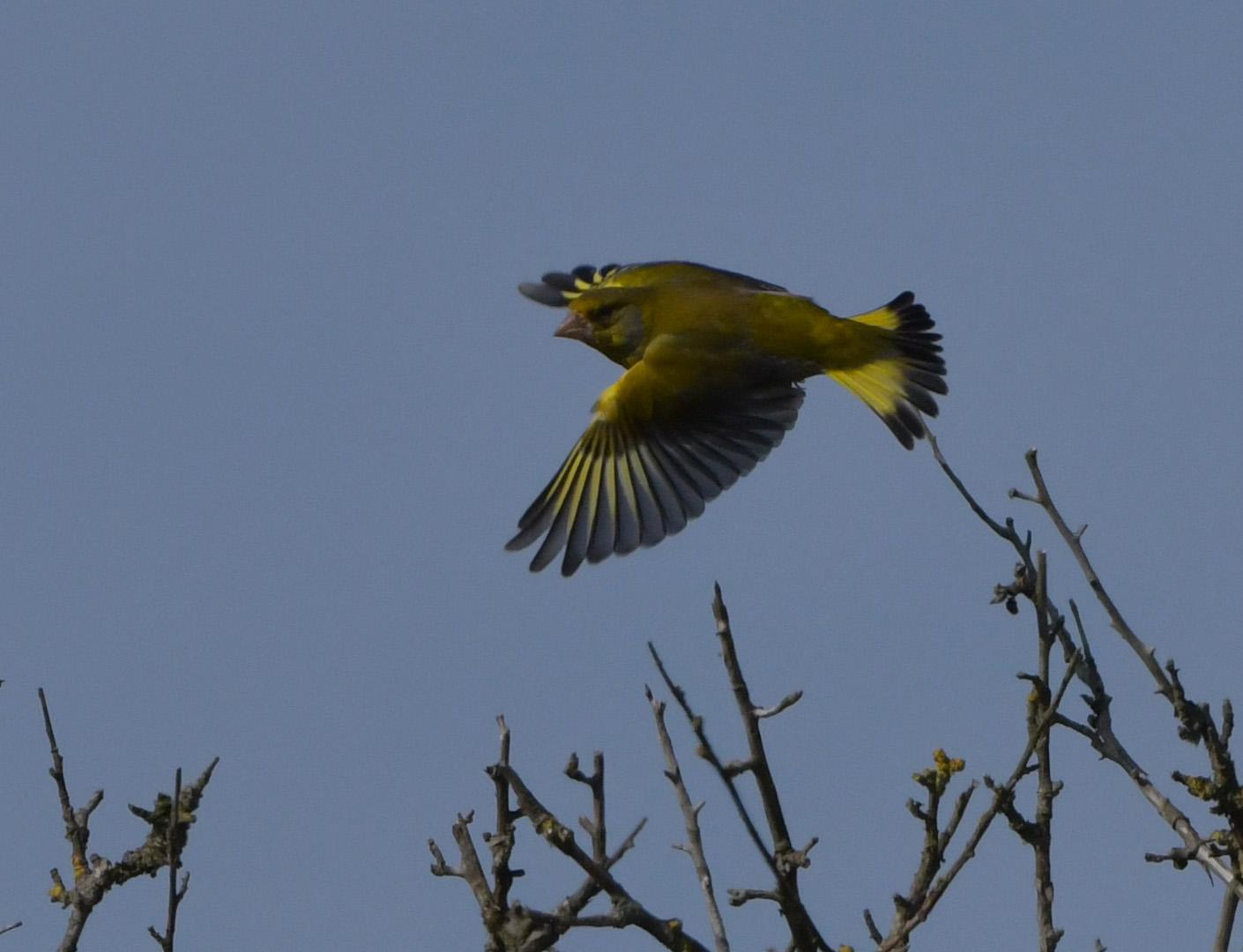 Met wijd uitgespreide vleugels en staart vloog hij voor ons langs – Foto: ©Louis Fraanje