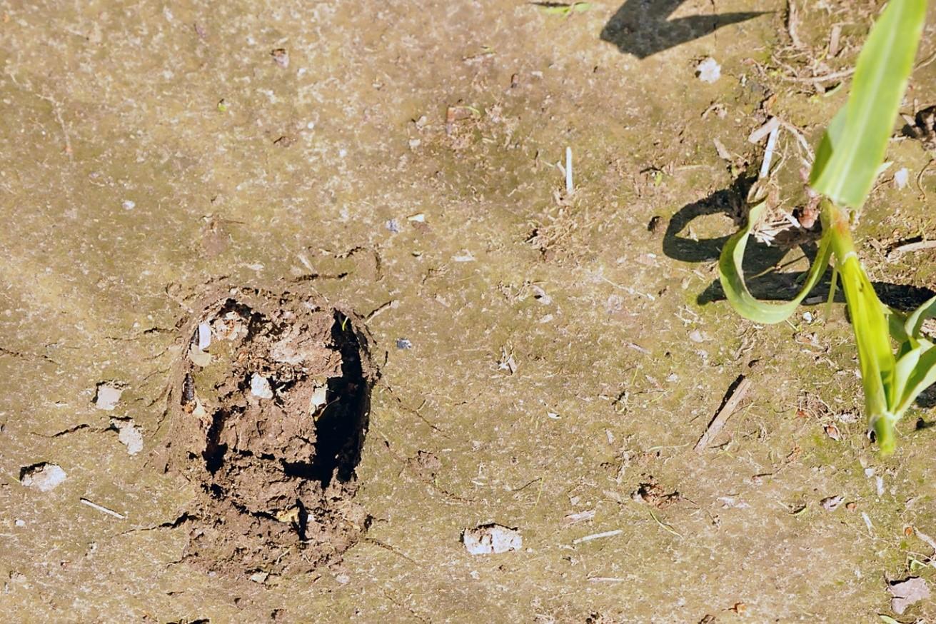 """Op de foto boven d.d. 11-juni-2019 zijn duidelijk de afdrukprenten van edelherten tussen een perceel jonge mais op het bouwland van """"Landgoed Biljoen""""(GLK) waar te nemen- Foto:©Ton Heekelaar"""