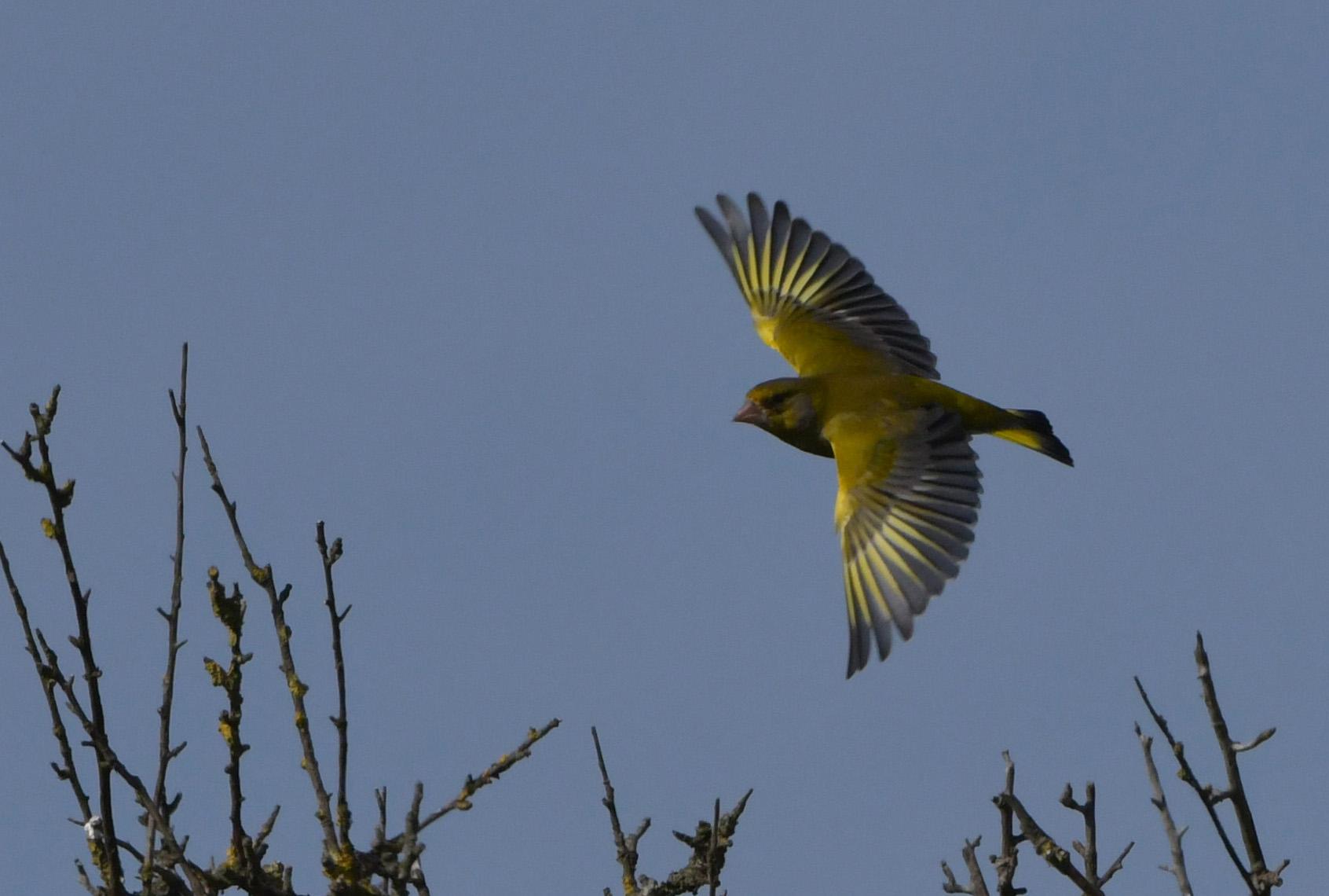 Wat een schitterende geel/groene waaier in vogelvlucht – Foto: ©Louis Fraanje