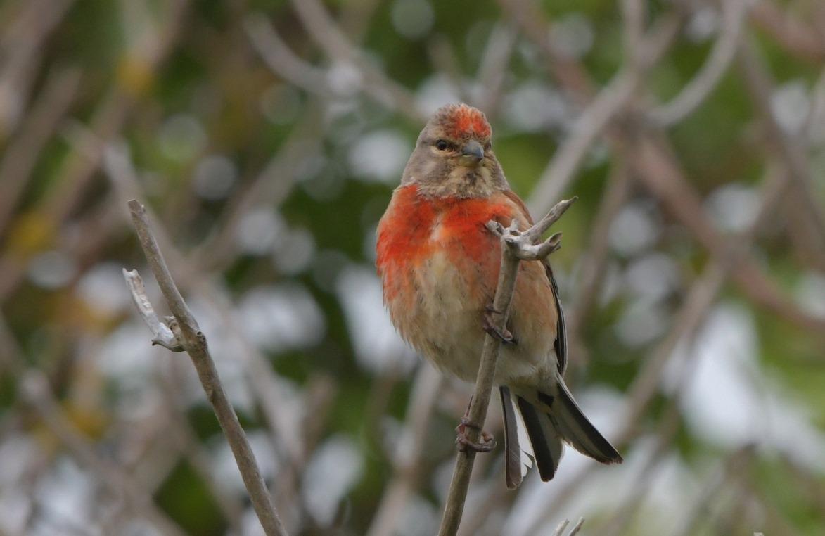 Het mannetje van de Kneu kleurt rood...