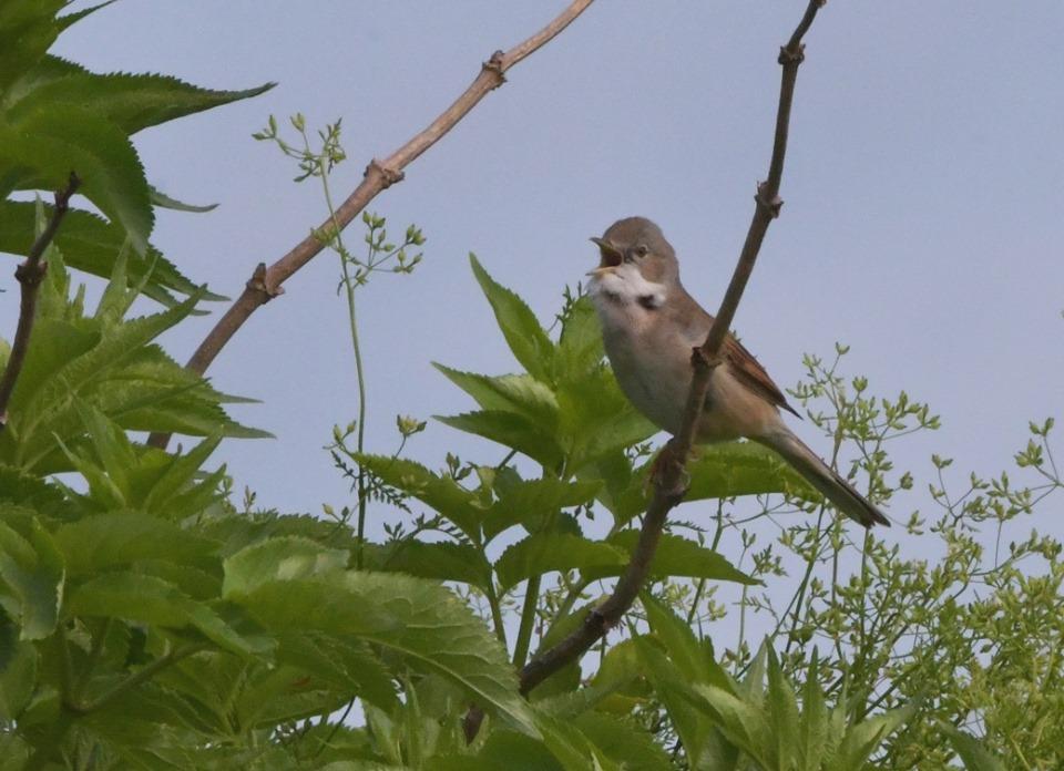 De Grasmus is een onopvallende vogel maar hij kan prachtig zingen – Foto: ©Louis Fraanje