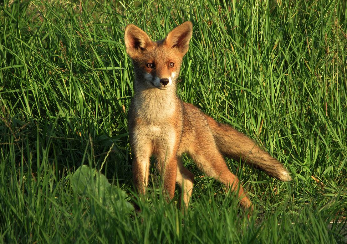 Deze jonge vos gaat er echt even heel stoer voor te gaan staan - Foto: ©Fransien Fraanje