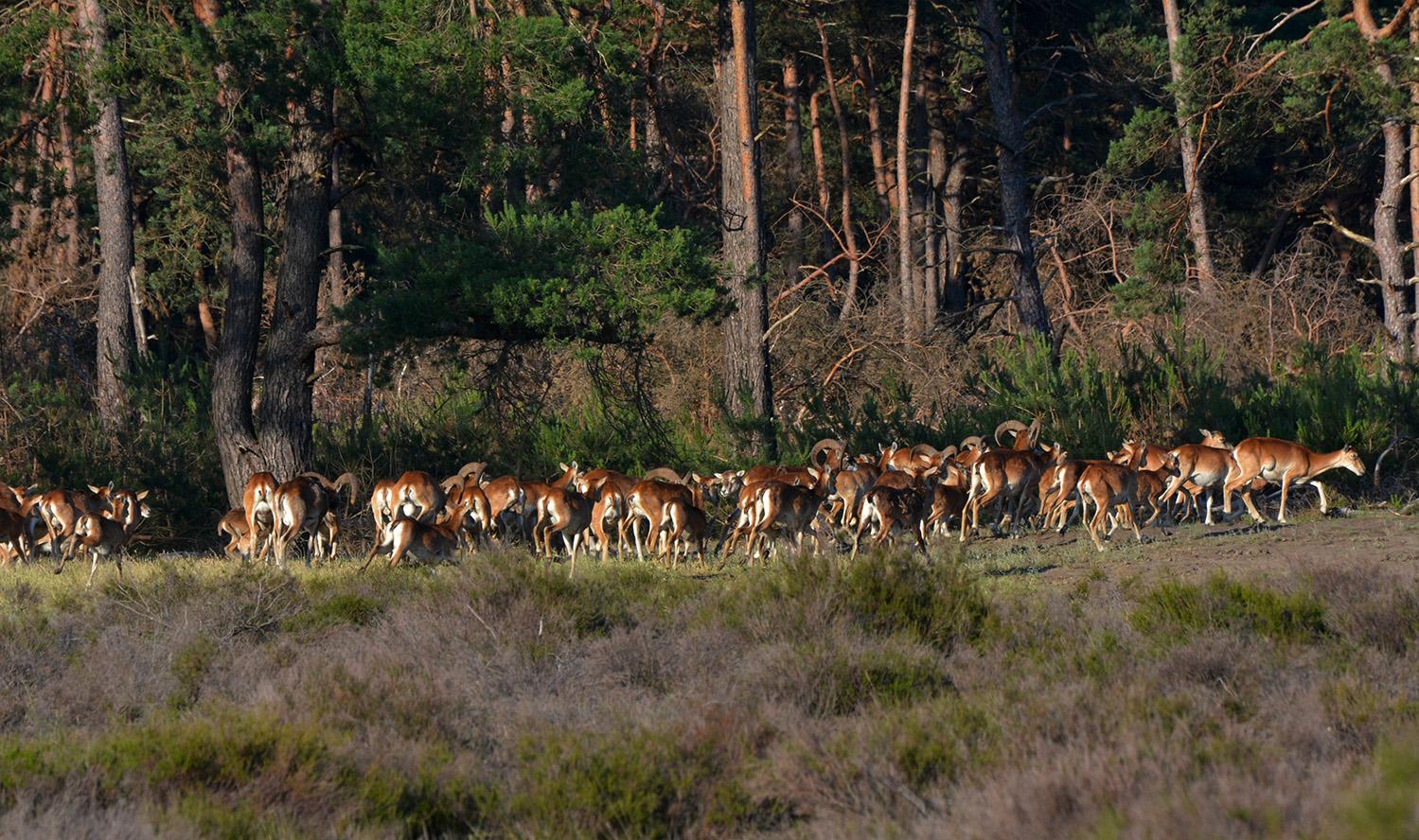 Ineens waren ze er... een kudde van wel honderd stuks moeflons - Foto: ©Florus van den Berg
