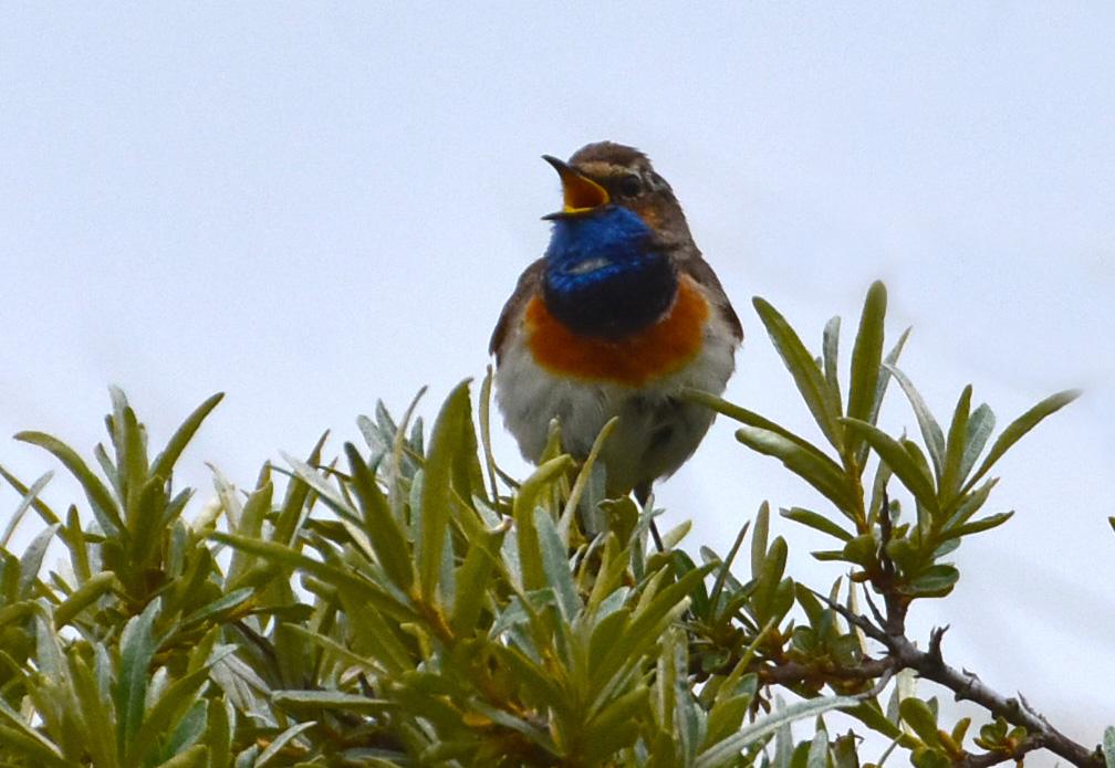 Ook de Blauwborst liet zich zien - Foto: ©Fransien Fraanje