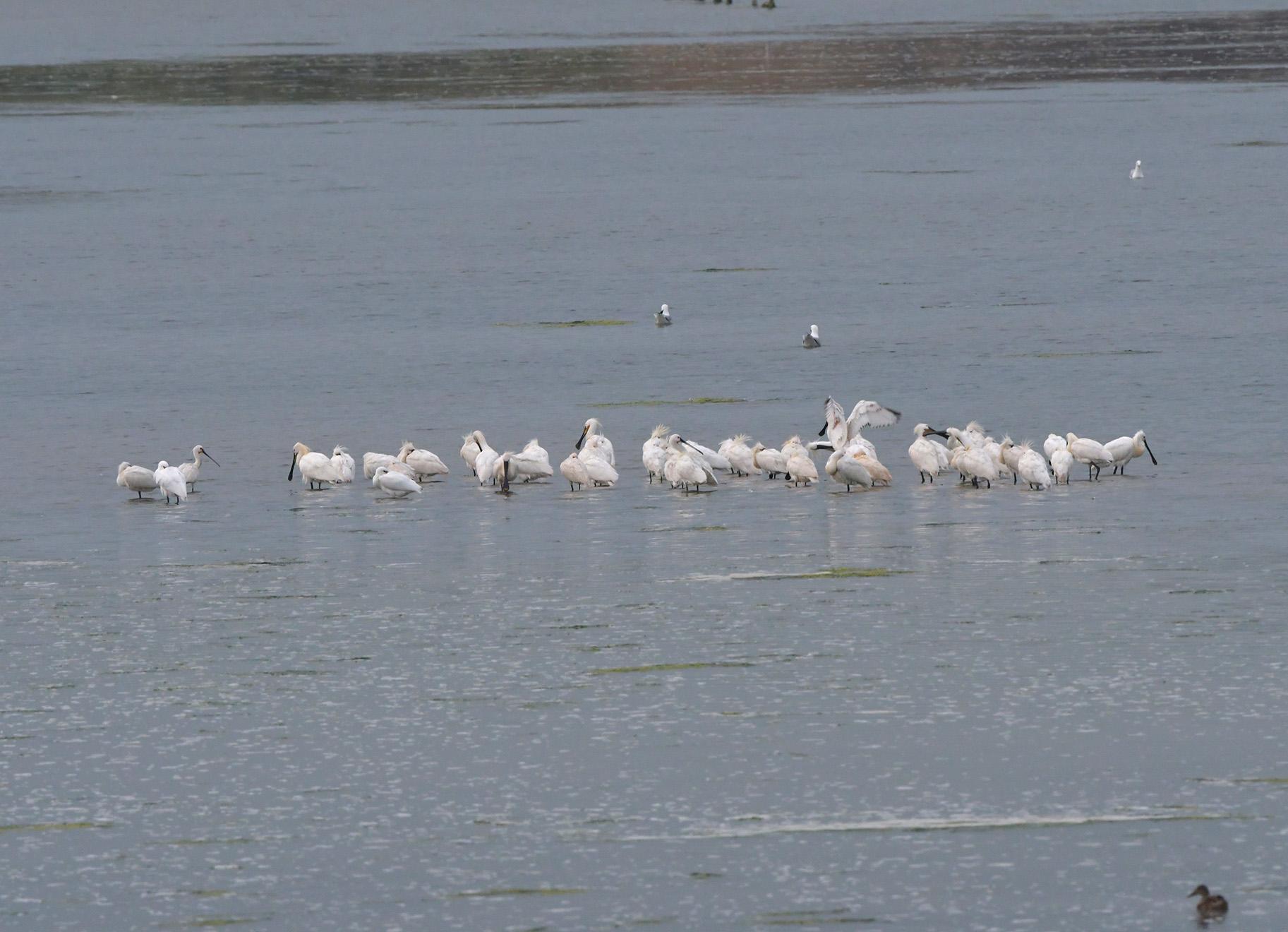 Het zag opeens wit van de Lepelaars voor ons in de Mokbaai - Foto: ©Louis Fraanje